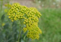 Clusters of tiny yellow flowers - Bupleurum fruticosum - Apiaceae (Monceau) Tags: jardindesplantes clusters tiny yellow flowers bupleurumfruticosum apiaceae macro bokeh