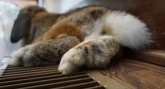 Da FEET!! (markdavidsmom) Tags: tail feet pet love rabbit lop holland bunny