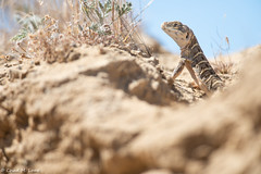 Blunt-nosed Leopard Lizard (Gambelia sila) (Chad M. Lane) Tags: wildlife wildlifephotography wild explore exploring explorer enjoy eye reptiles reptile travel usa outdoors animals animal awesome d810 fieldherping fullframe greatoutdoors herps herping hiking herp herpetology love lighting fx california californiawildlife californiaherps beautiful bokeh nikon nature nikond810 naturephotography macro mothernature lizards bluntnosedleopardlizardleopardlizard nikkor nikkor300mmf4 sanbenitocounty