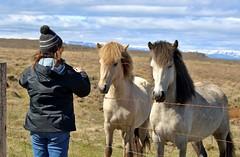 Three's Company (mpalmer934) Tags: horses fence sky iceland icelandic farm