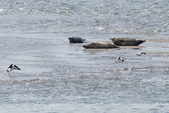 Seals (Common) (eric robb niven) Tags: ericrobbniven scotland common seal wildlife nature oystercatcher