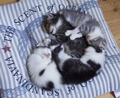 Kitties are three weeks old now ^w^ (~Akara~) Tags: cute kitten kittens sleeping cuddling kitties kitty baby asleep cat animal