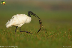 Black Headed Ibis!!(_EJ1C0992) (Anupam Dash Photography) Tags: anupam anupamdashphotography anupamdash avian adult aplusphoto beauty bird birdwatching birds birding birdsofindia canon camera colors canon500mmf4 color clouds canon1dmarkiv colourartaward nature naturesfinest naturephotography north wildlife wild wildlifephotographer water workshop indian india is indianbirds birdsofodisha blackheadedibis