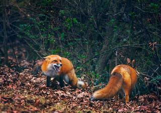 Fox Spat