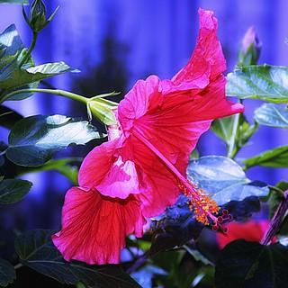 Toronto Ontario ~ Canada ~ Edwards Gardens ~ Botanical Garden -  Hibiscus Rosa