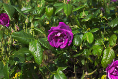 from a rose garden in Vancouver (JennyLeeNJ) Tags: rose purple plant garden flower flowers vancouver stanleypark bc britishcolumbia rosegarden