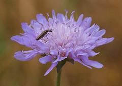 2018_07_0491 (petermit2) Tags: swollenthighedbeetle falseoilbeetle thickleggedflowerbeetle beetle oedemeranobilis oedemera oedemeridae fieldscabious