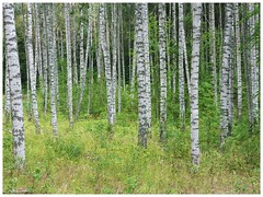 Stockholm / Sweden / Skog / forest (staffangreen) Tags: z panasonicdmctz7 t27 skandinavien ljus lumix europe europa 2018 torpet björk sverige eu sweden wood träd theforest forest skogen skog