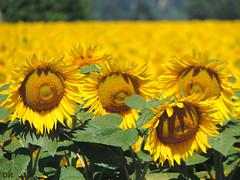 famille tournesol (danie _m_) Tags: naturepic sunflowers beautiful flowerspower lovenature flowers yellow nature tournesols fleurs champ campagne