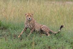 Cheetah (Hector16) Tags: lamai eastafrica tanzania serengeti wildlife nature mararegion tz gettyimages