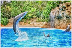 A splash of colour. (wilstony1) Tags: dolphin pool display show loropark tenerife touristattraction panasoniclumixgx7 daytime sunny sunshine outdoor snapseed