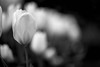 L1011812.jpg (Jorge Carrera) Tags: flower bokeh smooth silky
