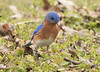 Eastern Bluebird (vischerferry) Tags: easternbluebird bluebird sialiasialis thrush newyorkstate