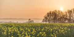 Morning landscape (Nathan J Hammonds) Tags: kent uk field landscape sky sunrise rapeseed farm farming trees crop mist sun nikon hdr bracketing morning spring d750 flower