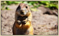 Black-tailed prairie dog (myphotomailbox) Tags: rotterdam netherlands blijdorp zoo dierentuin outdoor knaagdier animal cynomys präriehunde çayırköpeği hewanpengerat rodent mammal painting