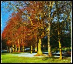 Park Trees (Develew) Tags: whitworthpark darleydale derbyshire derbyshiredales england trees grass snow winter winterscene