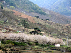 Cherry blossom (MelindaChan ^..^) Tags: hadong skorea 河東 cherry blossom tree bloom spring chanmelmel mel melinda melindachan rural countryside travel