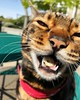 Ahhhh! Look I got a yummy treat! #dontchewwithyourmouthopen #shrimptreats . . . #bengal #cat #bengalcat #bengals #cats #kitty #kittycat #bengalcats #bengalcatsoninstagram #bengalcatsofinstagram #catsofinstagram #crazycat #marbledbengal #sillykitty #catsta (tiina2eyes) Tags: ahhhh look i got yummy treat dontchewwithyourmouthopen shrimptreats bengal cat bengalcat bengals cats kitty kittycat bengalcats bengalcatsoninstagram bengalcatsofinstagram catsofinstagram crazycat marbledbengal sillykitty catstagram kittygram ネコ ねこ 猫 neko ifttt instagram