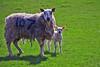 Mum(107) and Son (eric robb niven) Tags: ericrobbniven scotland sheep lambs farmland spring perthshire walking