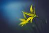 Yellow (jarnasen) Tags: fuji adapter nikon40mmf28 flower macro nature outdoor grass dof perspective geo geotag gallery järnåsen jarnasen view copyright shallow sweden sverige östergötland tinnerö spring