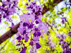 (takashi ogino) Tags: pentax q7 wisteria 01standardprime color purple plant