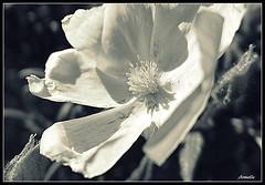Natural elegance ! (Armelle85) Tags: extérieur nature fleur flore noir et blanc monochrome macro