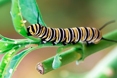 Leafy_Diet (rigloc@) Tags: butterfly caterpillar worm leaf eating