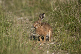 Hare today......270618_9-2.jpg