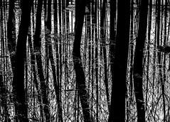 Floating.jpg (Klaus Ressmann) Tags: klaus ressmann omd em1 fcharente nature spring blackandwhite contrast flcnat flood trees klausressmann omdem1