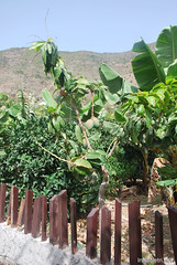 Канарський сад-город, Гомера, Канарські острови  InterNetri  0630