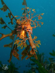 Leafy Seadragon 3 - Rapid Bay (Meet Me Underwater) Tags: favourite underwater seadragon leafy