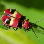 Leaf beetle, Diabrotica sp.? Chrysomelidae: Galerucinae thumbnail