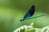 IMGP1741-2 (Nature Photo with PENTAX) Tags: insect nature dragonfly green life wild wildlife telephoto bokh pentax 昆虫 自然 トンボ リュウキュウハグロトンボ ペンタックス 望遠 macro ryukyu