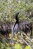 Anhinga (Laura Erickson) Tags: suliformes anhingidae birds species anhinga merrittislandnationalwildliferefuge brevardcounty places florida anhingaanhinga