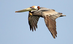 colorful in flight (Dianne M.) Tags: brownpelican nature flight outside feeding colorful wings bird florida