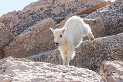 Mountain Goat kid bounds by - Sequence - 5 of 17