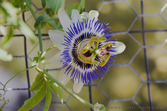 Passion .  .  2018/41 Earth Day (xTexAnne) Tags: ©diannewhite nikond7200 sahuarita arizona flower passionflower purple 118picturesin2018