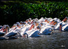 Pelicans at City Park Lake (20130216_7813) (ronnie.savoie) Tags: pelican batonrouge
