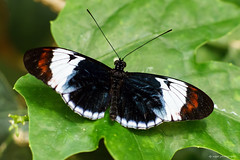 Judy Istock Butterfly Haven (dpsager) Tags: blueandwhitelongwing butterflies butterfly chicago dpsagerphotography judyistockbutterflyhaven lakefront peggynotebaertnaturemuseum saariysqualitypictures