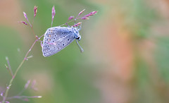 Icarusblauwtje - Common blue (Polyommatus icarus) (Wim Boon (wimzilver)) Tags: wimboon icarusblauwtje vlinder butterfly nederland netherlands natuur nature canoneos5dmarkiii canon100mmf28lismacro dauw dauwdruppels dew