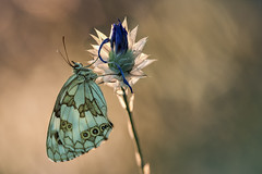DSC_4912 (Marco Díaz Cádiz) Tags: macro nature bokeh butterfly bug ngc sigma180mm35 nikon campo closeup wildlife flower white