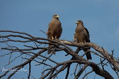 Kite Yellow-billed (michael heyns) Tags: yellowbilledkite zambia milvusaegyptius 2018 geelbekwou centraldistrict botswana bw