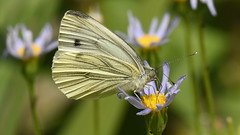 Cabbage White Butterfly (rq uk) Tags: rquk nikon d750 nikond750 afsvrmicronikkor105mmf28gifed butterfly flower wildlife cabbagewhite micro macro