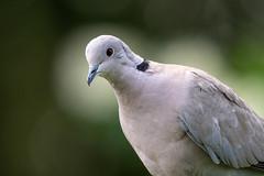 Collared Dove Bokeh (CJH Natural) Tags: eurasiancollareddove türkentaube treptopeliadecaocto dove bird nature portrait bokeh feathers pretty