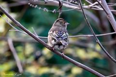 Pinson des arbres (Fringilla coelebs) femelle (Ezzo33) Tags: france gironde nouvelleaquitaine bordeaux ezzo33 nammour ezzat sony rx10m3 parc jardin oiseau oiseaux bird birds pinson des arbres fringilla coelebs femelle