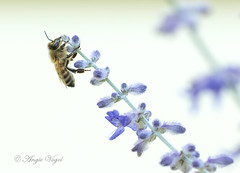 Honey Bee and Russian Sage (Angie Vogel Nature Photography) Tags: bee honeybee sage russiansage nature insect flower