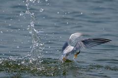 Splash & Little tern (hakuunsai) Tags: littletern bird birds splash dive