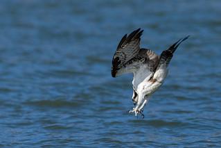 Osprey, Cayuga Lake