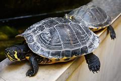 Siesta (Krbo_sb) Tags: turtles