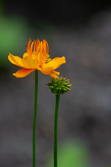 Orange Hope (Bloui) Tags: 2018 botanicalgarden eos7d jardinbotanique jardinsalpins june summer montréal québec flower orange depthoffield